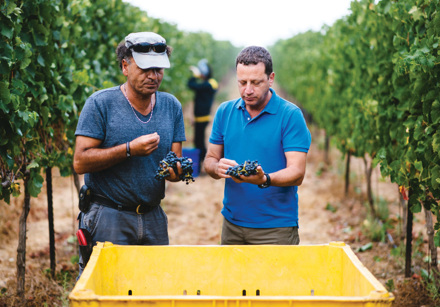 SCHOENFELD TASTES grapes with the grower to decide when to harvest. (Photos: Golan Heights Winery)