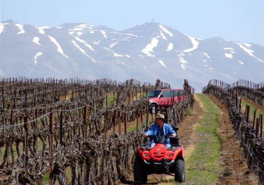 CHECKING ODEM Vineyard, backed by snow-covered Mount Hermon.