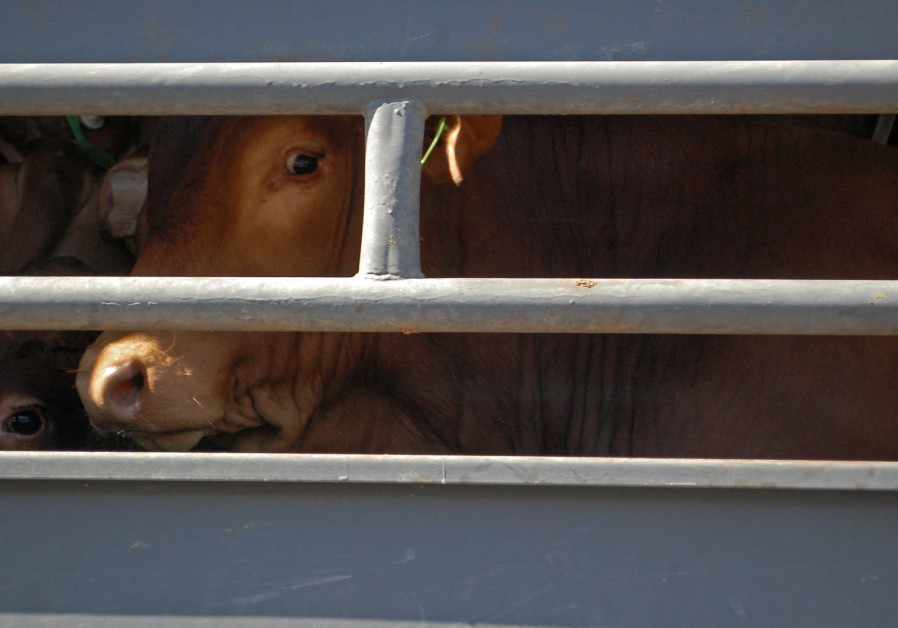 Livestock transported overseas for slaughter.