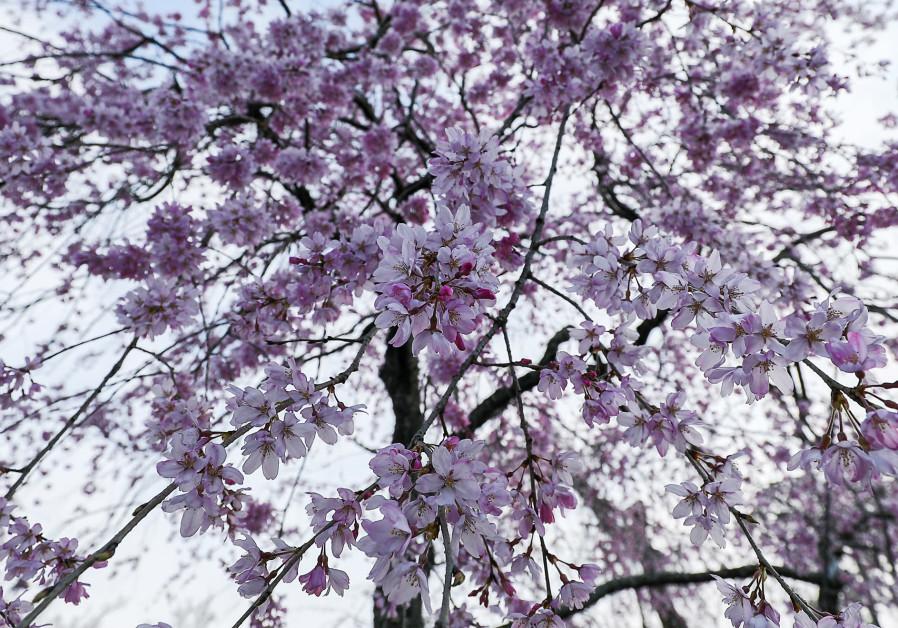 Kyoto's cherry blossom (Photos: Ilan Rogers)