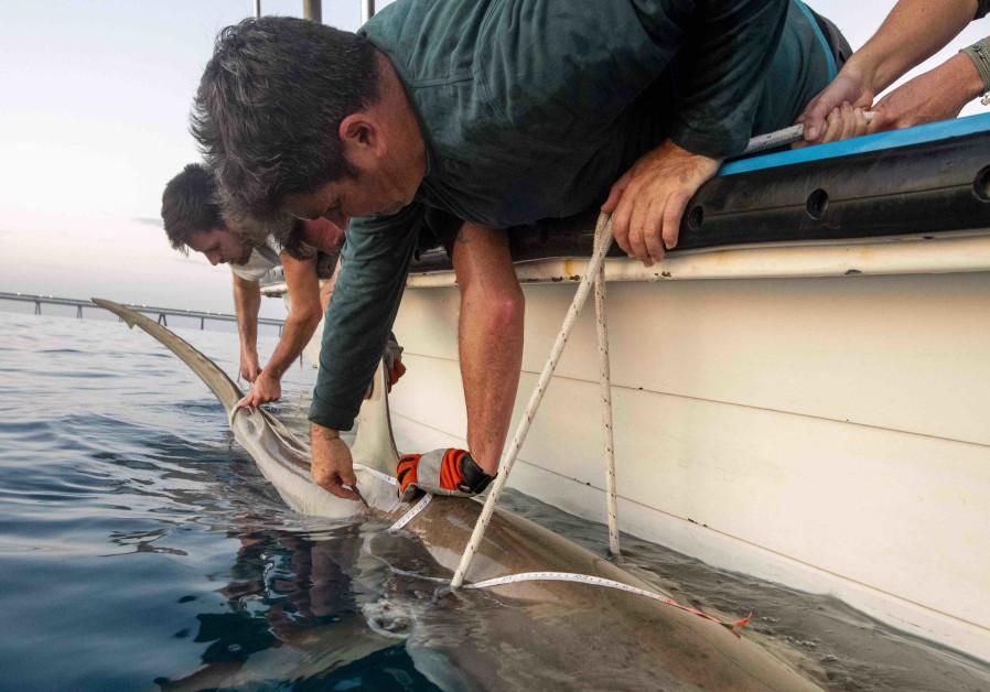 Dr. Aviad Scheinin examines a shark along Israel's northern coast. (Photo credit: Hagai Nativ)