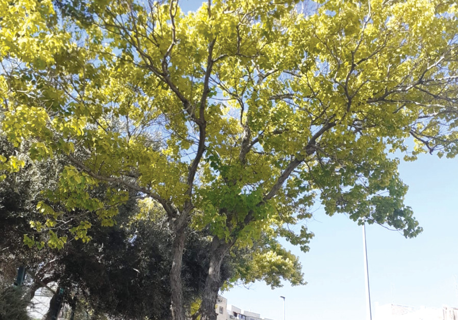 A TALLOW tree Rafi planted in Pisgat Ze'ev about 20 years ago. 'I get emotional seeing it again. (Credit: Rafi Levy)