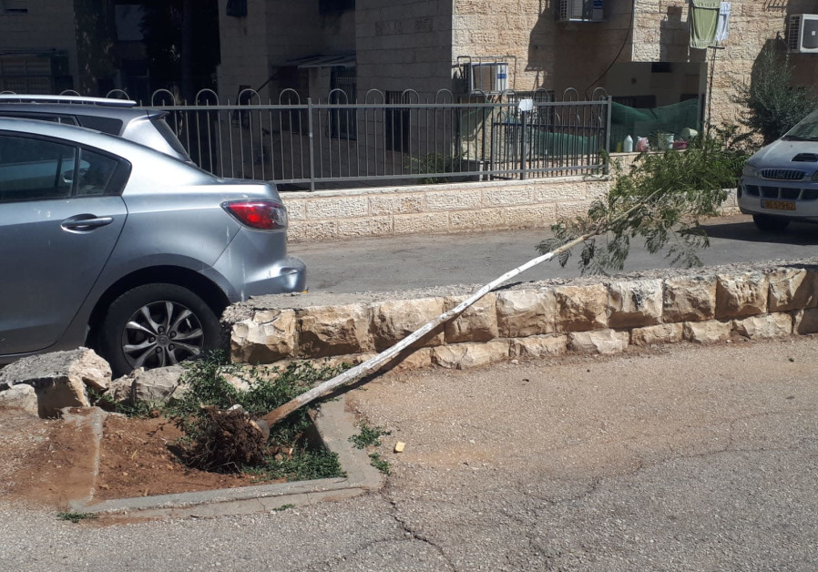 FELLED BY a careless driver or mischievous vandals, a recently uprooted jacaranda tree lies helplessly hoping for its tree men to replant it. Nissim Ashuri: 'There is vandalism everywhere, but we won't give up hope.'! (Credit:Natan Rothstein)