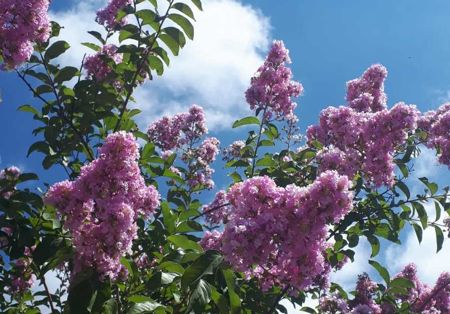 A PINK crape myrtle reaches for the blue sky. (Credit: Natan Rothstein)