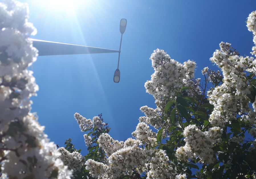 A LIGHT pole towers over a mature, white crepe myrtle. (Natan Rothstein)