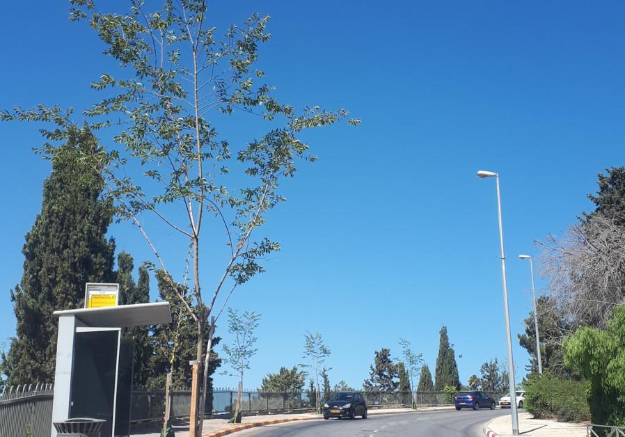 MEDITERRANEAN HACKBERRY (nettle) saplings line a Jerusalem street.