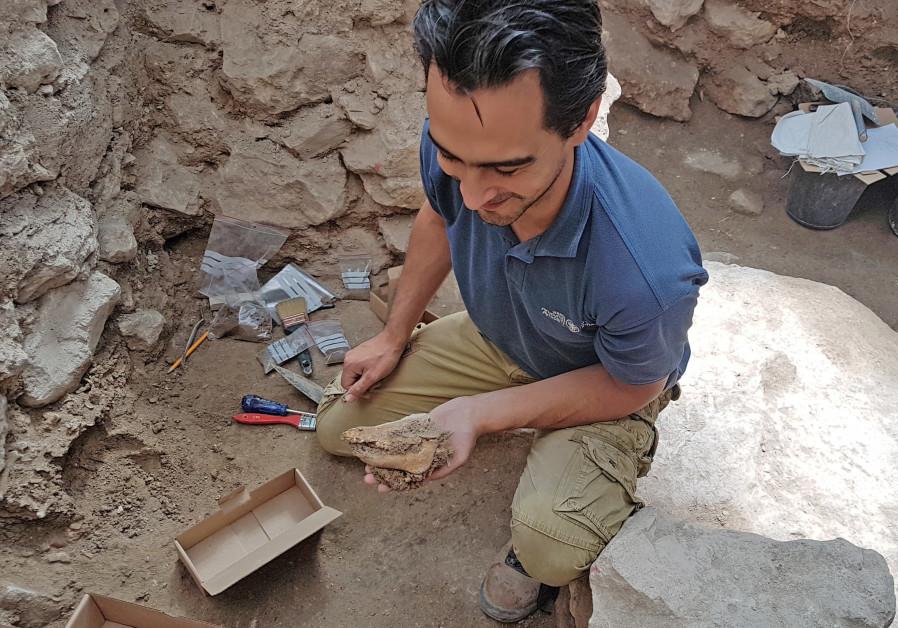 Um arqueólogo do IAA é visto segurando o esqueleto do porco em Jerusalém.  Nome da fotografia: JOE UZIEL / ISRAEL ANTIQUITIES AUTORITY