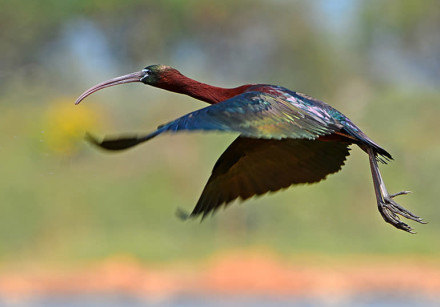 A dark brown waterbird, the Glossy ibis displays some magnificent feather colors when the light fall