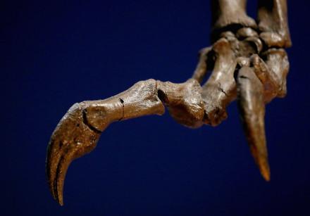 A fossil of a dinosaur claw.