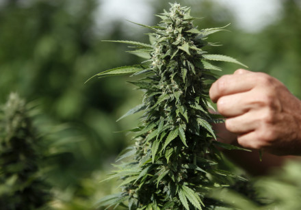 A worker touches a cannabis plant at a growing facility for the Tikun Olam company near the northern