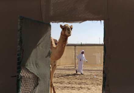 A camel during the Sultan Bin Zayed Heritage Festival in Sweihan, United Arab Emirates February 2, 2