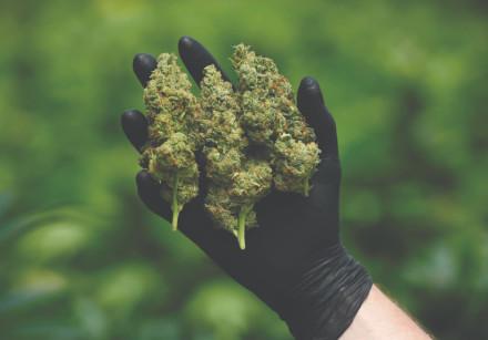 AN EMPLOYEE holds freshly-harvested medical cannabis flowers at Pharmocann, an Israeli medical canna