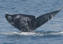 A gray whale seen off the coast of Israel