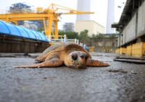 Sea turtle drifts into Hadera plant, Jan 2013