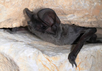 Israel bat colonies