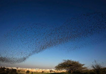 Migrating starlings fly in formation across the sky near the southern Israeli town of Rahat