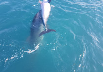 Dolphin next to a dead friend