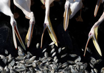 Migrating Great White pelicans are fed as part of an Israeli Agriculture Ministry funded project aim