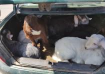 Stolen goats found in trunk in Tamra
