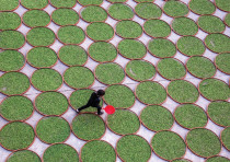 A WOMAN walks in a yard where tea leaves are dried at a tea company in Dening, Fujian Province, Chin