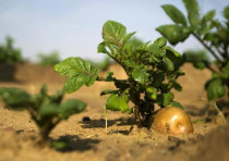A potato grows in a field irrigated by recycled waste water in Kibbutz Magen in southern Israel