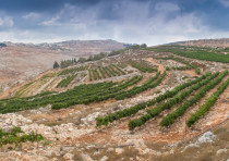 THE HAR Bracha vineyard in the Shomron Hills, one of the areas Harcavi was pleased to help develop