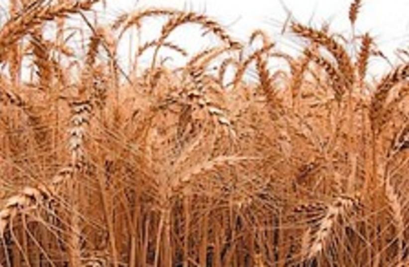 wheat field 88 224 (photo credit: Courtesy photo)