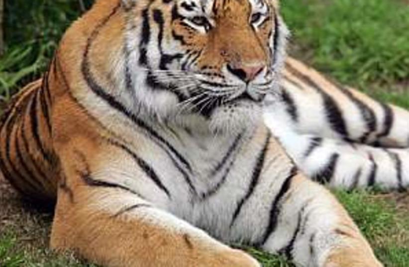 tiger 298.88 (photo credit: AP)