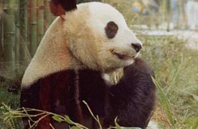 panda bear 298.88 (photo credit: Courtesy)