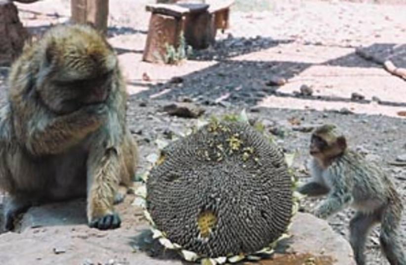 monkey park 88 298 (photo credit: Miriam Bulwar David-Hay)