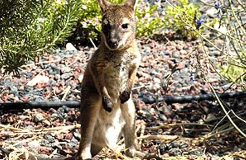 baby kangaroo 88 298 (photo credit: Courtesy)