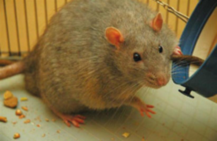 cute lab rat 248.88 (photo credit: Joanna Servaes)
