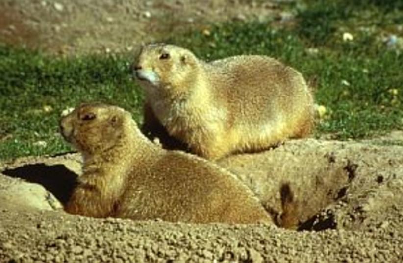 Prairie Dogs 298 (photo credit: Courtesy)
