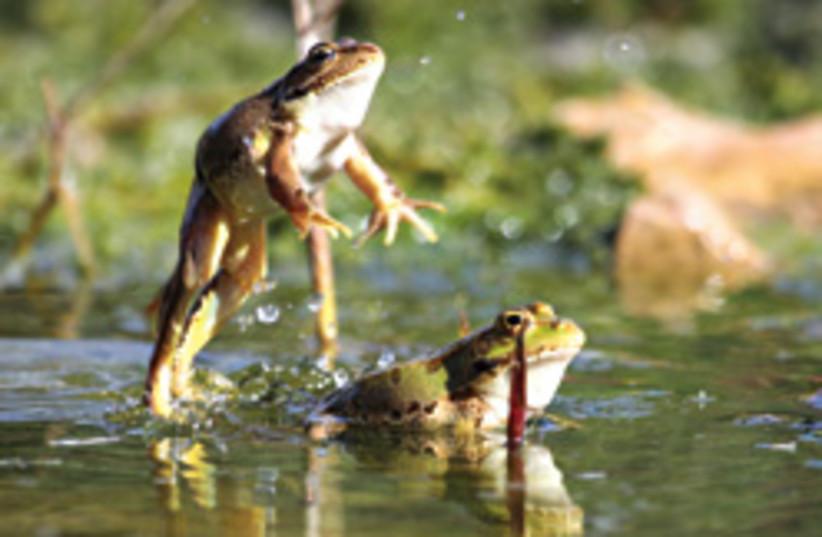 frogs cool 248.88 (photo credit: Amir Balaban)