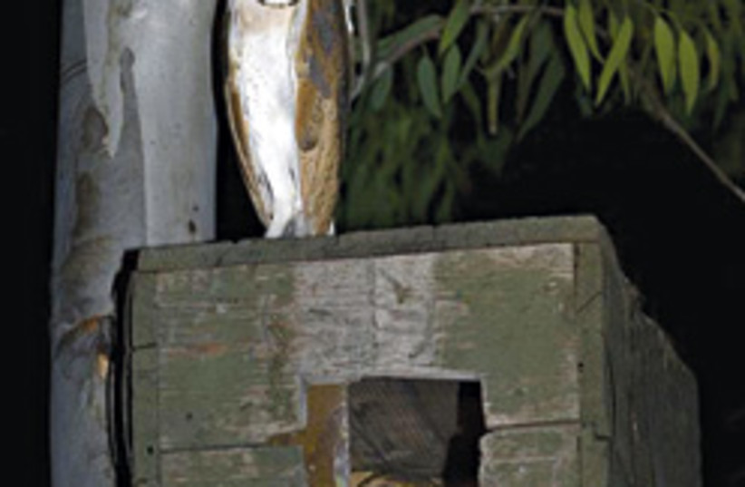 barn owls nesting 248.88 (photo credit: )