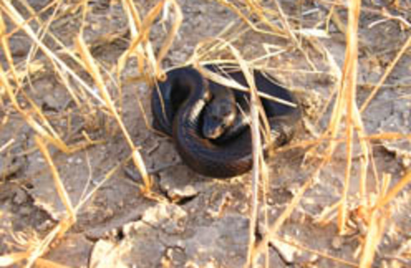 black racer snake 248.88 (photo credit: Itay Tesler )