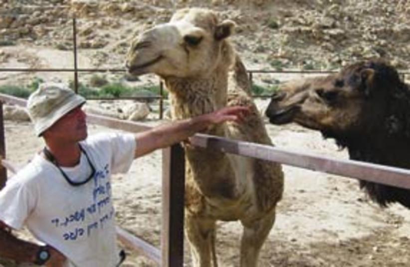 camels 311 (photo credit: Ben Hartman)