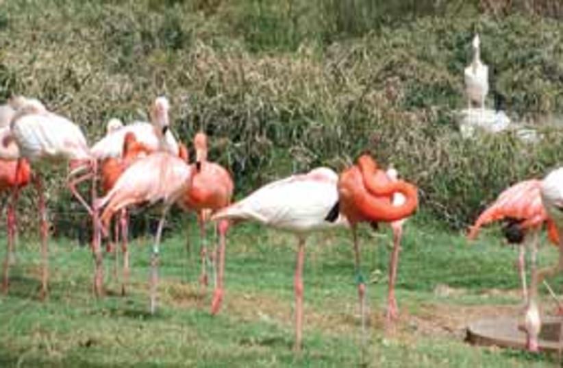 flamingo 311 (photo credit: .)