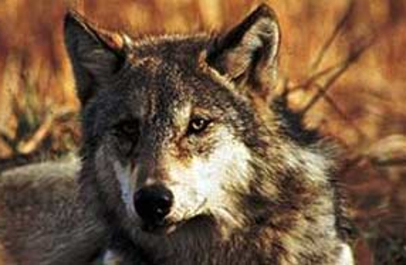 Wolf311 (photo credit: AP)