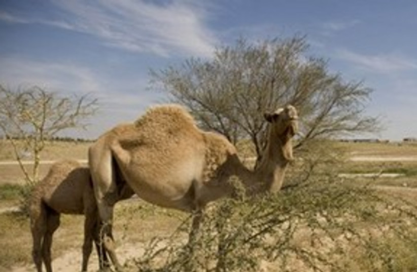 Camel and desert (photo credit: ASSOCIATED PRESS)