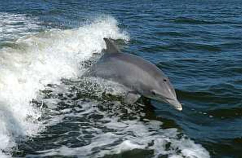 dolphin 298.88 (photo credit: Courtesy)