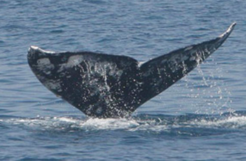 gray whale 311 (photo credit: Aviad Scheinin/IMMRAC)
