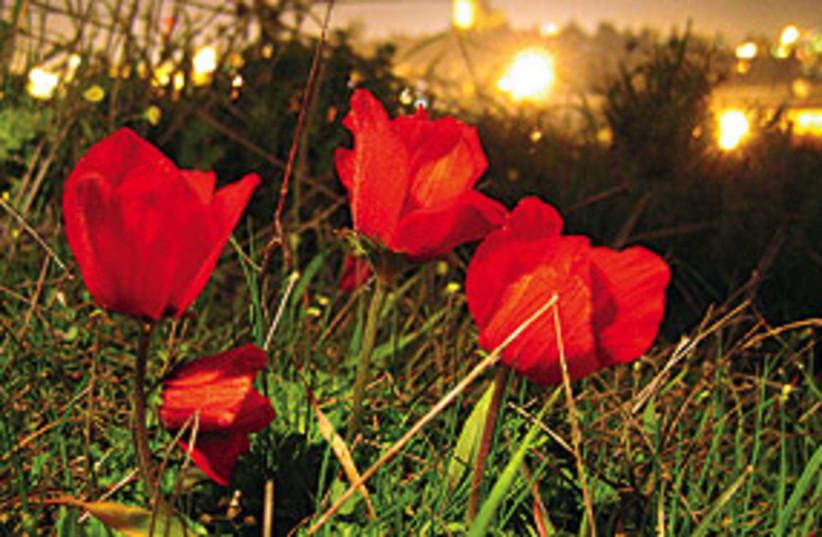 anemones jlem 311 (photo credit: Amir Balaban)