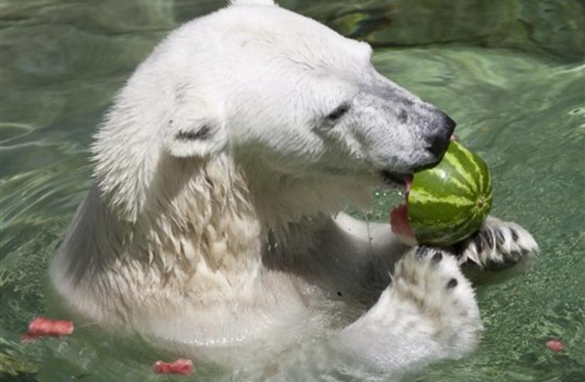 Polar bear eats watermelon (photo credit: AP)