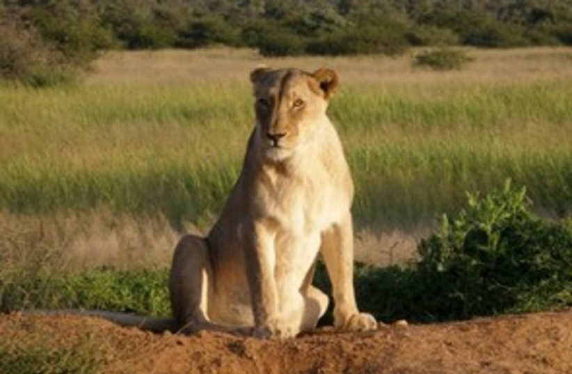 lioness 298 88 (photo credit: Courtesy)