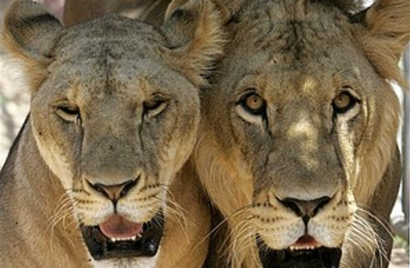 Lions 298 (photo credit: AP)
