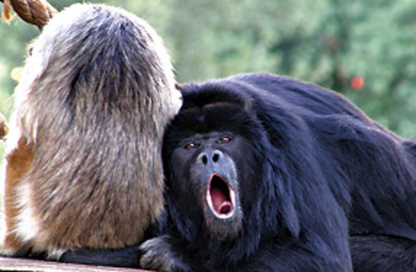 howler monkeys 311 (photo credit: Sasson Tiram)