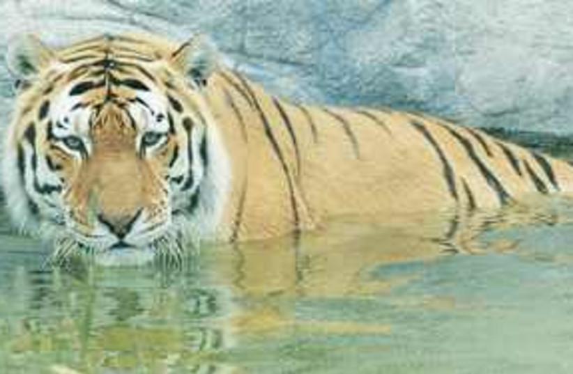 tiger 311 (photo credit: Sara Manobla)