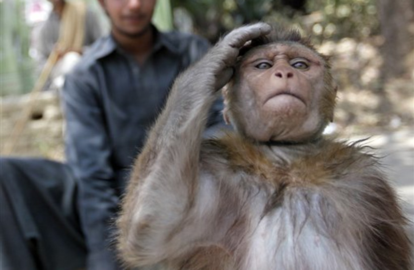 A trained monkey salutes as it performs on a sidewalk in Isl (photo credit: AP)