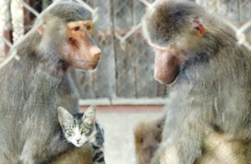 Baboon 311 (photo credit: The Society for the Prevention of Cruelty to Anima)
